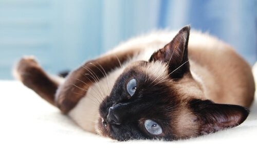 5 asiatische Katzenrassen