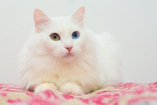 Angorakatze-Augen