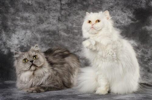 Angorakatzen - weiß und grau