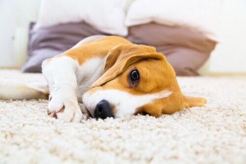 Epilepsie bei Hunden: Symptome und Lösungen