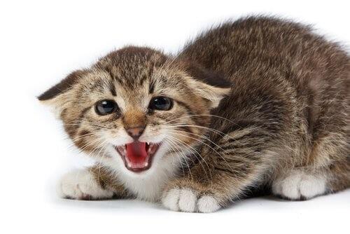 Fauchende-Katze