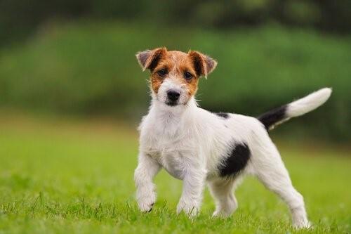 Hund mit starrem Schwanz