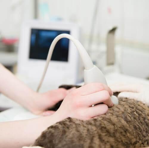 Katze-Ultraschall