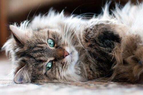 Katzenrassen, die keine Allergien auslösen