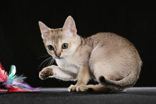 Die 5 kleinsten Katzenrassen