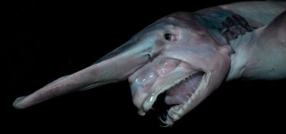 Koboldhai: Lebensraum und Eigenschaften
