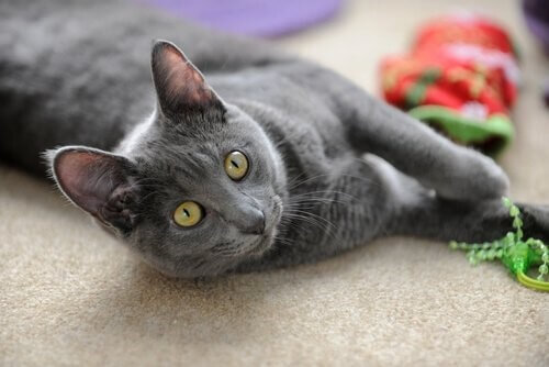 die kleinsten Katzenrassen: Korat