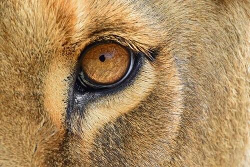 Eine gerettete Löwin kehrt nach Afrika zurück