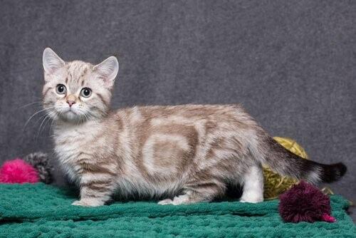 die kleinsten Katzenrassen: Munchkin
