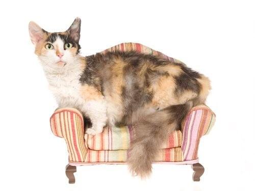 die kleinsten Katzenrassen: Skookum