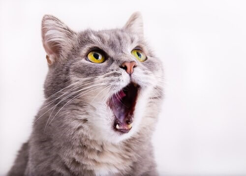 Stimmverlust bei Katzen - gibt es das?