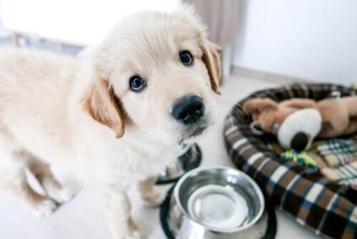 Ankunft eines Welpen: kleiner Hund vor seinem Napf