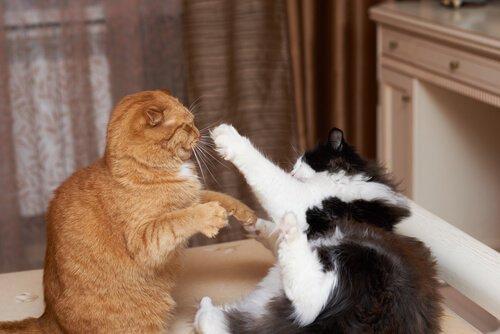 Auseinandersetzung bei Katzen: was du wissen musst