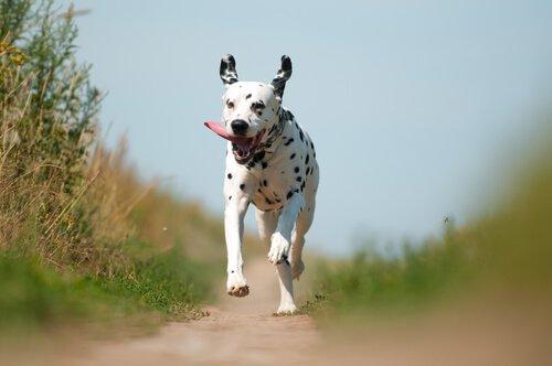 Dalmatiner rennen gerne