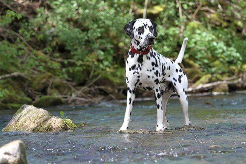 Dalmatiner: eine der bekanntesten und beliebtesten Hunderassen