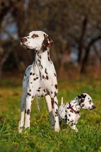 Dalmatinermutter und -welpe