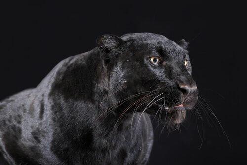 Der schwarze Panther ist nachtaktiv