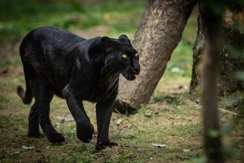 Der schwarze Panther jagd keine Menschen