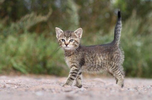 Die Sprache des Katzenschwanzes: senkrecht nach oben gestreckt