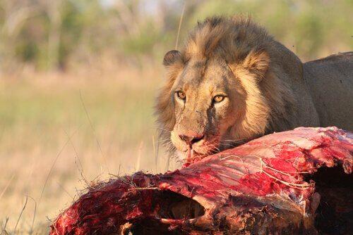 Die tödlichsten Raubtiere: Löwe