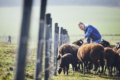 Einheimische Tiere der Valencianischen Gemeinschaft: Schafe