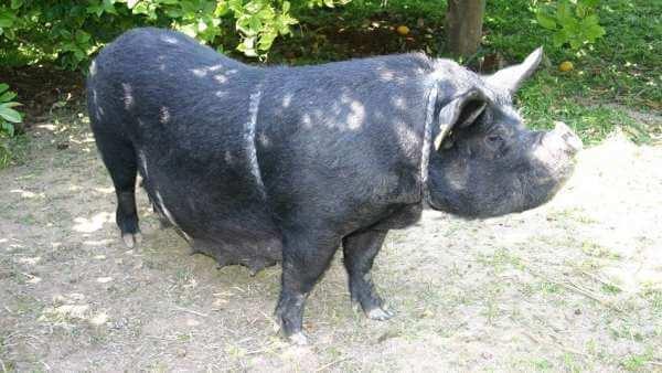 Einheimische Tiere der Valencianischen Gemeinschaft: Schweine