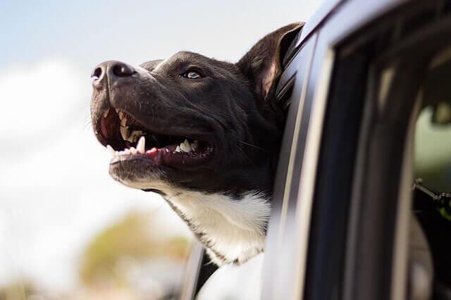 Froher Hund schaut aus dem Auto
