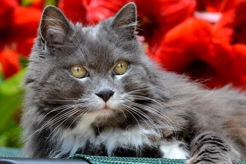 graue Katze mit Altersdemenz
