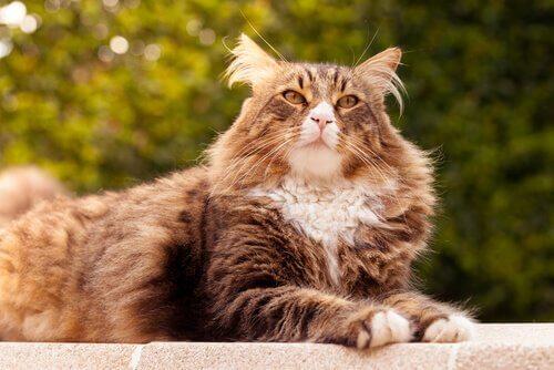 5 größten Katzenrassen