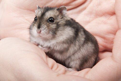 Hamster in der Hand