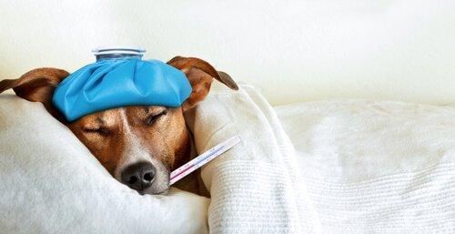 Harnwegsinfektion bei Hunden: Behandlung