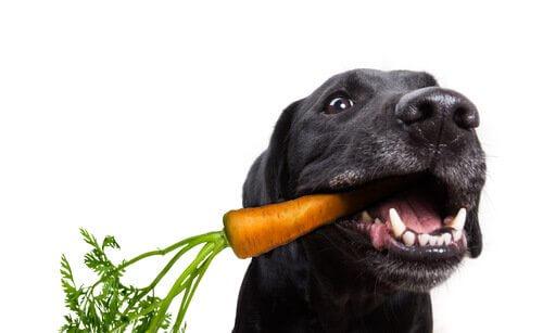 Hund Veganer, was spricht dagegen?