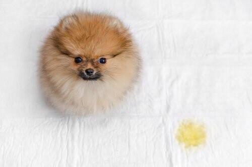 Verhindere, dass dein Hund im Bett uriniert - 4 Tipps