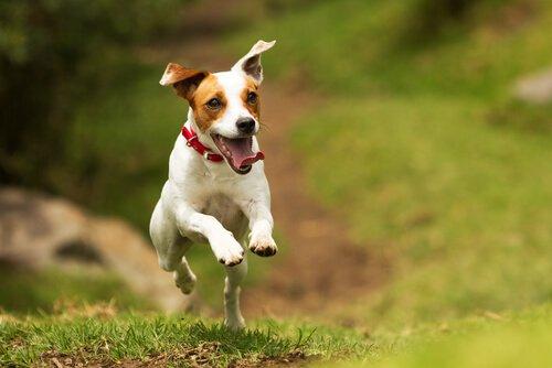 Jack Russell springt fröhlich durch den Wald
