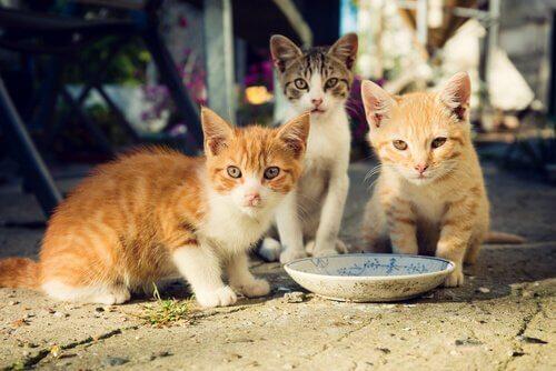 Kätzchen vor dem Milchteller