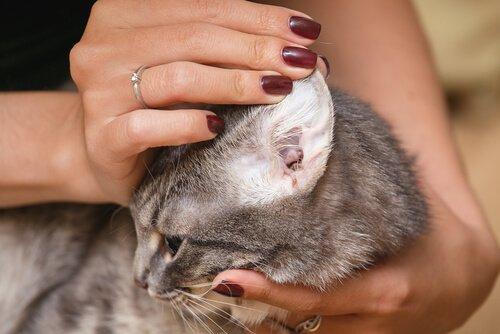Olivenöl für Katzen: Ohren reinigen