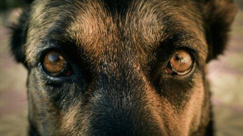 Pupillen bei Hunden
