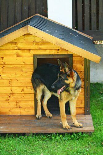 Schäferhund liebt seine Hütte