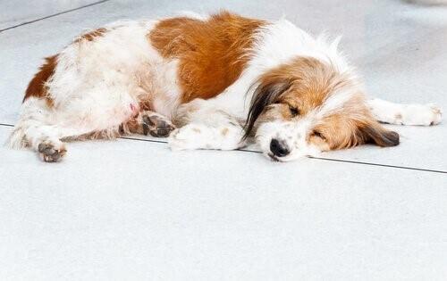 schlafender-Hund