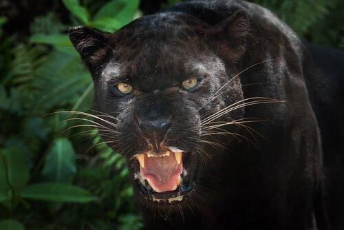 Der Schwarze Panther: Kuriositäten und Interessantes