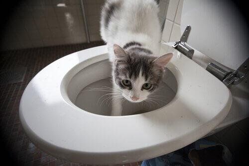 Seltsames Katzenverhalten: aus der Toilette trinken