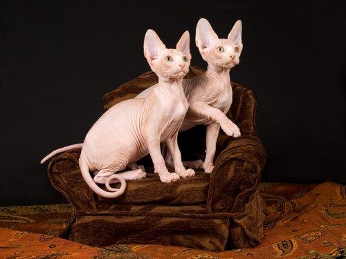 Sphynx Katzen ohne Fell