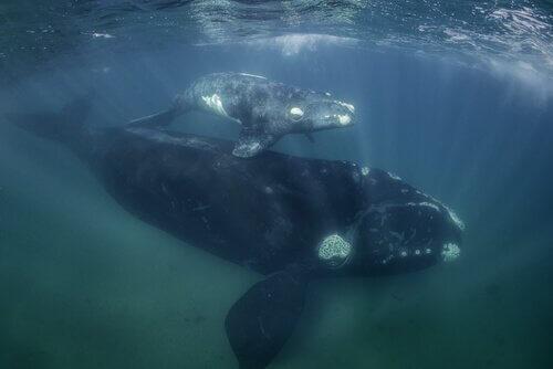 Walmutter und -junges