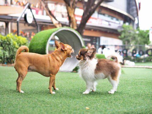 Zwei Chihuahuas nähern sich einander an.