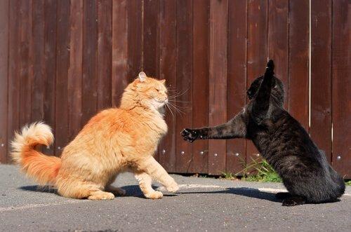 Zwei Katzen streiten sich