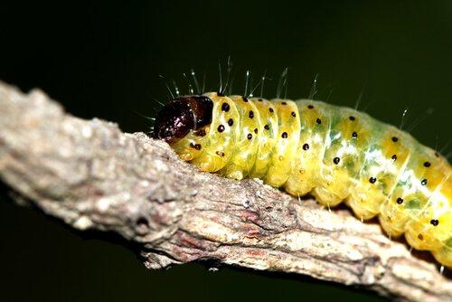 Welche verschiedenen Arten von Raupen gibt es eigentlich?