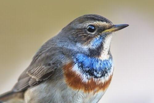 Blau-Vogel