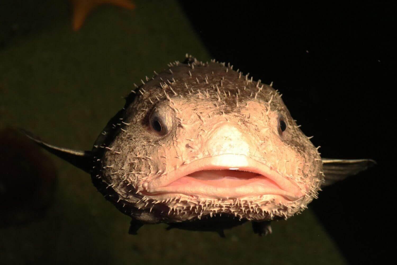 Blobfisch-Meer