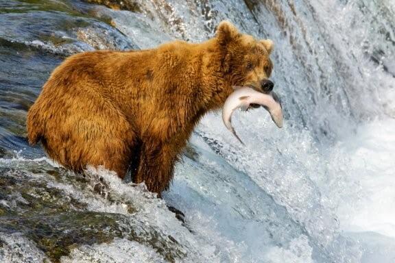 Braunbär und Grizzlybär – was sind die Unterschiede?