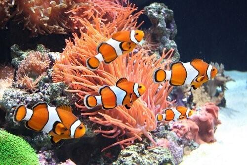 Clownfische-Anemone